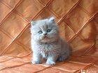 Фото в Кошки и котята Продажа кошек и котят Увидела в интернете такого котеночка, есть в Самаре 0
