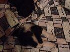 Фотография в Собаки и щенки Продажа собак, щенков отдам щенка помесь лайки в добрые руки. мальчик, в Самаре 10