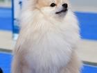 Фотография в Собаки и щенки Вязка собак Эльфийский принц Паппи-Бум, крем-соболь  в Самаре 0