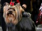 Увидеть изображение Вязка собак вязка йоркширского терьера в самаре 38585185 в Самаре