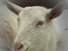 Новое фотографию  Зааненские молодые козочки, 38680157 в Самаре