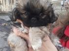 Продаю щенка породы Пекинес 3,5 годика