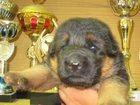 Увидеть фотографию  продаются шикарные щенки немецкой овчарки 32303507 в Санкт-Петербурге