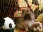Фото в Собаки и щенки Продажа собак, щенков Продам очаровательного маленького принца в Санкт-Петербурге 15000