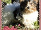 Изображение в Собаки и щенки Вязка собак Предлагается для вязки кобель бивер Йорка. в Санкт-Петербурге 5000