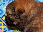 Фотография в Собаки и щенки Продажа собак, щенков Предлагаются к продаже шенки Тибетского Мастифа: в Санкт-Петербурге 0