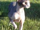 Скачать бесплатно foto  Помогите найти! Канадский сфинкс, 10 лет, стерелизован, голый, чёрно-белый 33928016 в Санкт-Петербурге