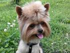Foto в Собаки и щенки Вязка собак Мини, вес 1600, привит, родословная, чип, в Санкт-Петербурге 2000