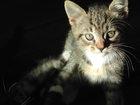 Фотография в Отдам даром - Приму в дар Отдам даром Отдам настоящих ботанических котят «От завезенных в Санкт-Петербурге 0
