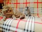 Изображение в Кошки и котята Вязка Полосатик из рекламы ждет в гости невесту. в Санкт-Петербурге 0