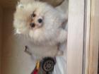 Изображение в   Продается щенок шпица, возраст 5 мес. Шикарная в Санкт-Петербурге 45000