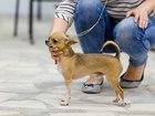 Изображение в Собаки и щенки Вязка собак Предлагаю для вязок опытного , титулованного в Санкт-Петербурге 7000