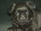 Фото в   Шикарный мальчик пти брабансон, черный, отличный в Санкт-Петербурге 18000