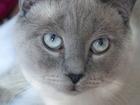 Изображение в   Опытный британский котик , окрас поинт приглашает в Санкт-Петербурге 2000