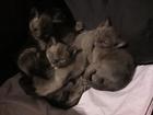 Изображение в Кошки и котята Продажа кошек и котят Открыто бронирование очаровательных бурманских в Санкт-Петербурге 25000
