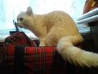 Фото в Кошки и котята Вязка Шотландский страйт приглашает на свою территорию в Санкт-Петербурге 2500