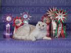 Изображение в Кошки и котята Вязка Предлагается для вязки молодой Шотландский в Санкт-Петербурге 3000