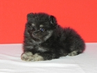 Фотография в Собаки и щенки Продажа собак, щенков Продаётся чёрно-подп. щенок с хорошей наследственной в Санкт-Петербурге 45000
