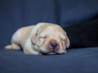 Изображение в Собаки и щенки Продажа собак, щенков Питомник RKF-FCI «NORD WAY» предлагает щенков в Санкт-Петербурге 65000