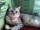 Вязка с британским опытным котом