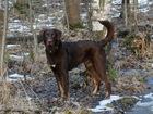 Метис курцхаара, серьезный пес для серьезных людей