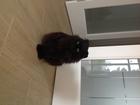 Ищем шотландского кота страйт для вязки
