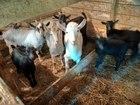 Племенные камерунские козлики и козочки