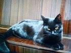 Скачать foto Вязка кошек Срочно ищем котика для черной красавицы! 68260388 в Санкт-Петербурге