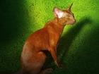 Просмотреть изображение Вязка кошек Ориентальные кот окрас циннамон 68338431 в Санкт-Петербурге