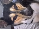 Скачать фотографию  вязка (случка) собак помесь овчарки с хаски 68500618 в Санкт-Петербурге
