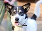 Скачать фото Отдам даром - приму в дар Очень красивая собака с идеальным характером 68646122 в Санкт-Петербурге