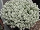 Свежее фото Растения Ампельные цветы к летнему сезону: петунии, калибрахоа, алиссум 69045827 в Санкт-Петербурге