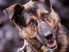 Уникальное изображение  Интеллектуальная собака, преданная хозяйкой 69466055 в Санкт-Петербурге