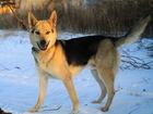 Новое foto  Уникальный молодой пес в ответственные руки 81409250 в Санкт-Петербурге