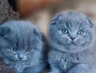 шотландские вислоухие и прямоухие котята Продаются очаровательные вислоухие и пр