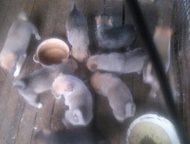 западно-сибирская лайка Элитные щенки западно-сибирской лайки от дипломированных
