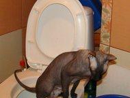 Санкт-Петербург: Сфинкс кошка Питер! Лиссабона-Петербургский сфинкс, Чемпион породы, 7лет, черного окраса, стерилизована-выводится из разведения , ходит на унитаз! ище
