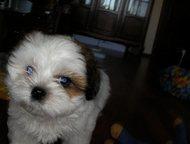 продается щенок ши-тцу для души Прекрасная бело-рыжая девочка, 2 мес, приучена к