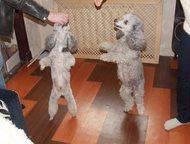 Продаю щенков малого серебристого пуделя Родились 24 мая, со слов ветеринаров вс