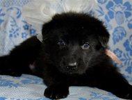 Черные немецкие овчарки, щенки Предлагаю щенков немецкой овчарки черного окраса.
