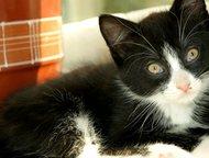 Котика отдам в добрые руки Котик домашний, здоровый, чистый! Возраст - 2 месяца.