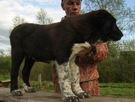 Щенки Алабая надежный охранник верный друг Предлагаем щенков Среднеазиатской овч