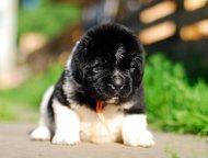 Щенки ньюфаундленда бело-черного окраса Питомник Fluffy Avаlanche предлагает щен