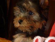 Йоркширский Терьер - щенки - не дорого Крошки Йоркширского Терьера - Мальчики и