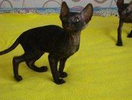 Котенок корниш рекс Питомник «Арискудр» предлагает котят от титулованных родител
