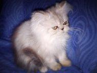 котенок ждет хозяев Возраст 3 мес. Мальчик окрас голубой мрамор, девочка окрас с