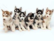 Элитные щенки Сибирской Хаски Предлагаем вашему вниманию прекрасных щенков Сибир