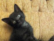 котята в дар Милые котята от голубоглазой кошки. Родились 9 августа. Игривые, ла