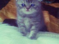 Шотландские котята Замечательные котятки, плюшевые шубки, прижатые ушки)пока им