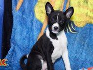 Санкт-Петербург: Щенки африканской нелающей собаки Яркие щенки басенджи.   Предлагаются к бронированию очень красивые щенки африканской нелающей собаки басенджи. Суки